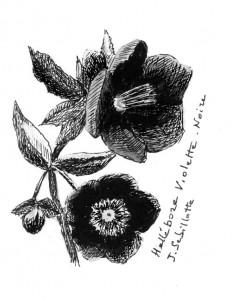 Hellébore-  dessin JS-copie